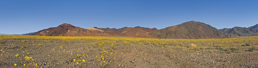 Wildflowers at Death Valley NP in CA